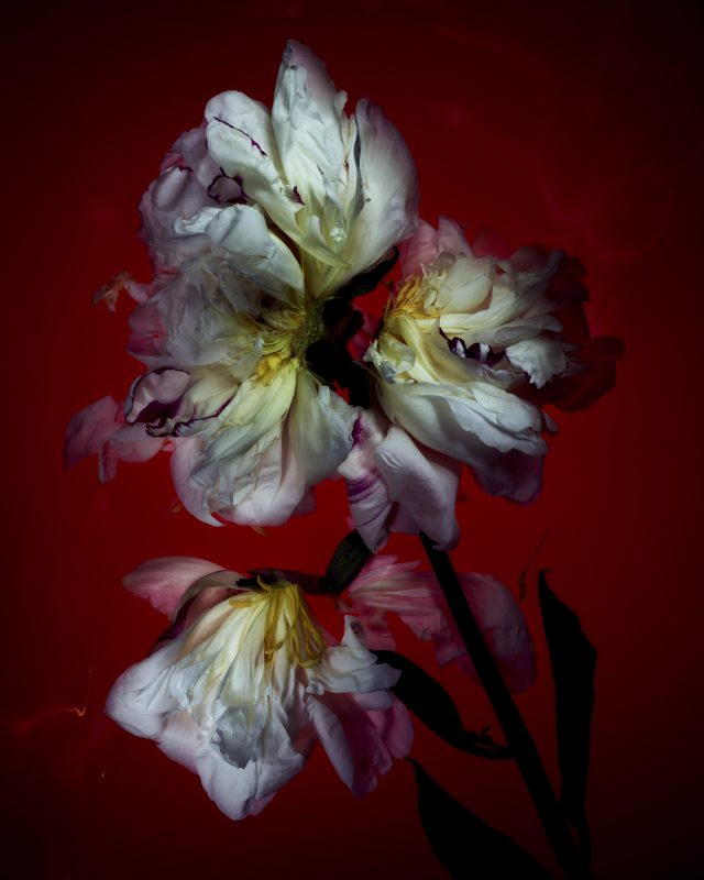 Flowers in Decay. Still Life Project